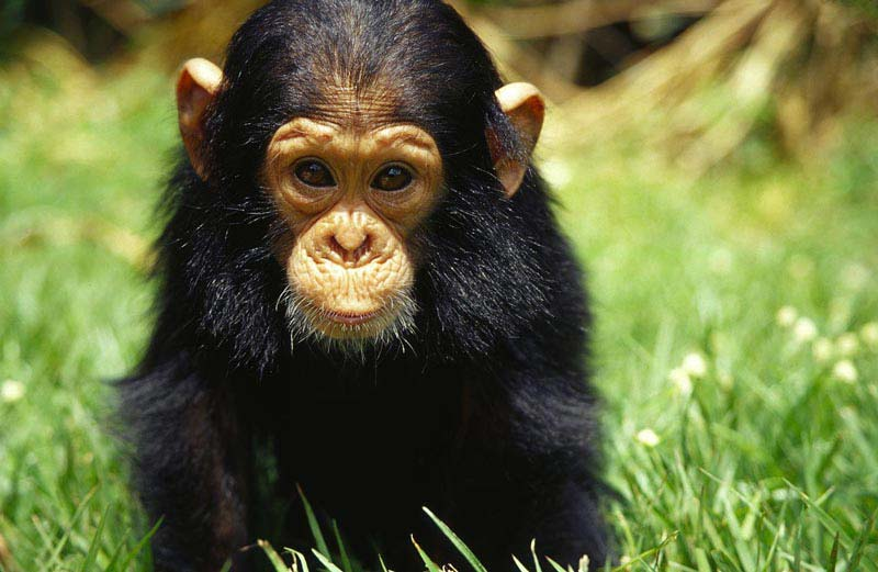 Chimpanzees of Uganda Chimpanzee Jane
